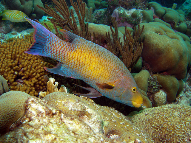 Adult Spanish Hogfish