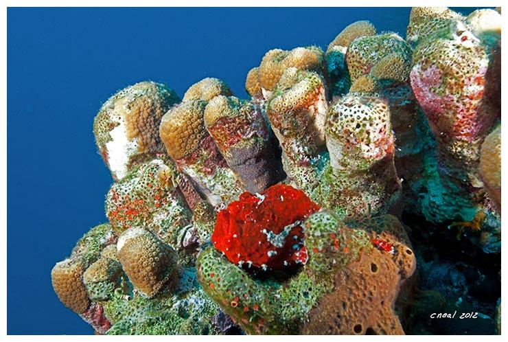 Red+Frogfish+2012.jpg