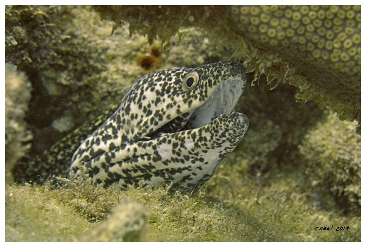 Bonaire+Spotted+Moray.jpg